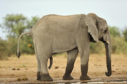 Elefantenkaffee Black Ivory